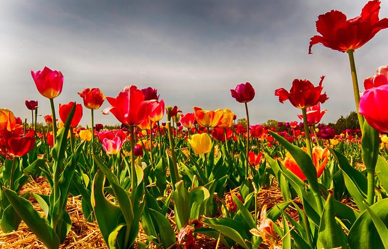 Tulipful