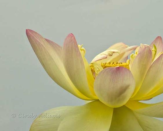 Petal of Lotus