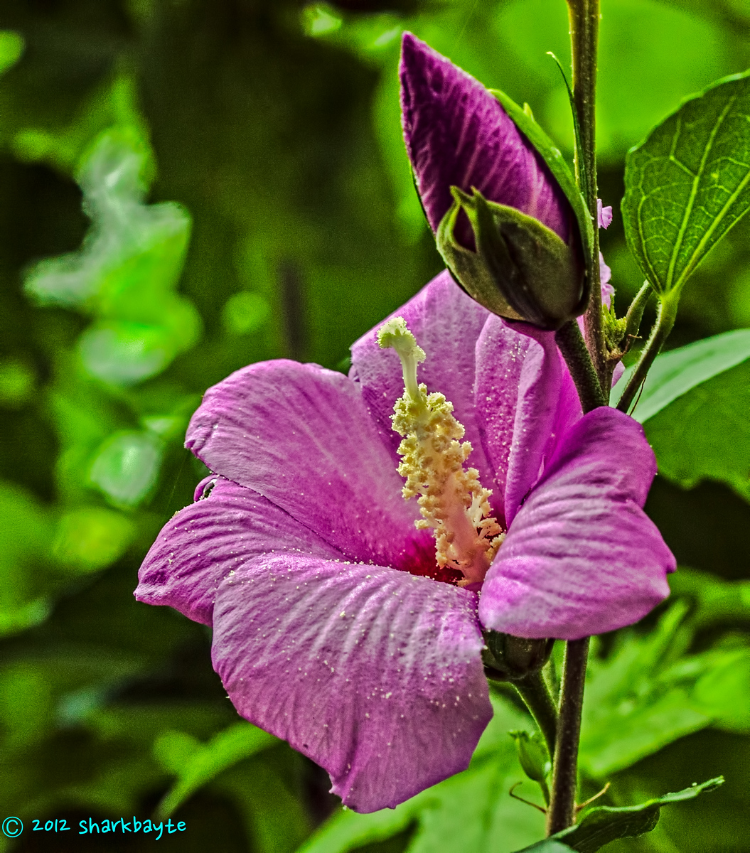 Rose of Sharon July 11, 2012-Finally getting some flowers on the bush, management went around and did their pruning in the fall, I didn't think this bush would flower again. There are fewer flowers than in previous years but as I got closer I saw a lot of buds growing. Day 11/365