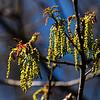 White Oak Flowers