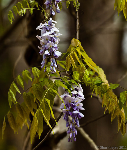 March 30, 2011-Wisteria hanging from the trees. I wanted to get closer but there was no way I could with the ditches surrounding the area it is growing in.  There was a branch running across the center of this, I tried to remove it without showing the edits. Something I really need to learn to do. (89:365 @sharkbayte)