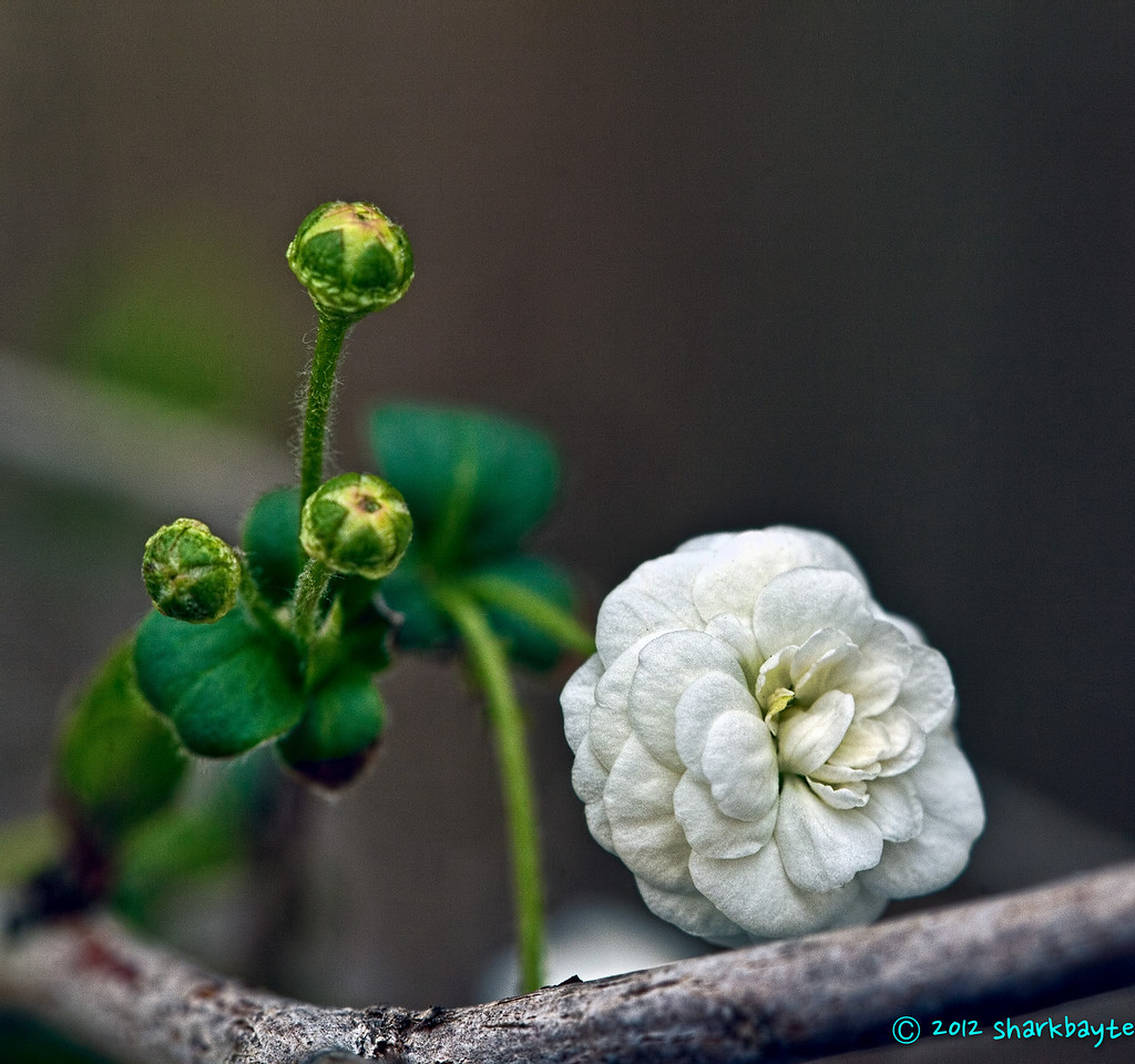 This is a little rather tiny flower on a bush in my neighbor's yard. I think it's a bridal veil bush? I have no idea.