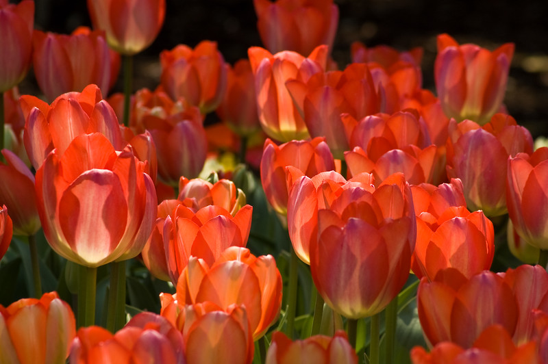 Tulip Lights