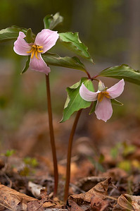These beautiful Catesby's Trilliums were found near my house in Rutherfordton, NC.