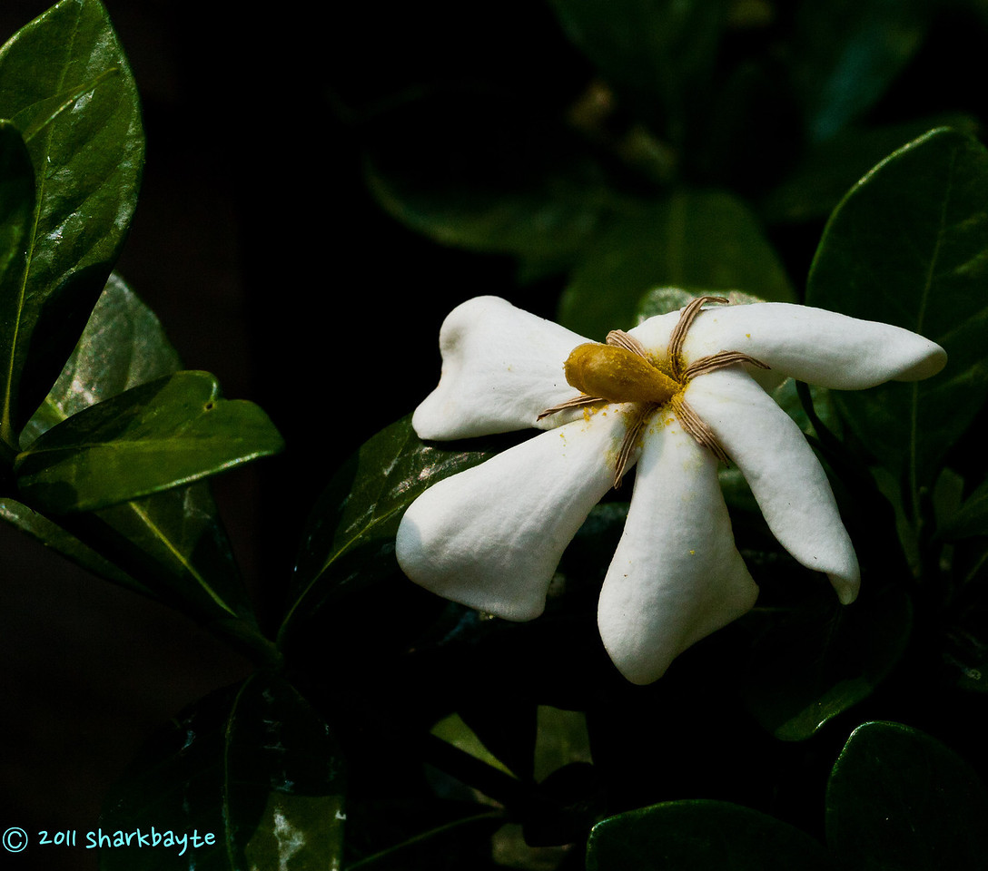 August 26, 2011-My neighbor's bush has only this one flower on it. She said its a gardenia bush, but it doesn't have a scent to it. (238:365)