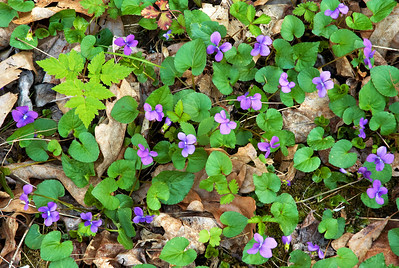 These little violets carpet the ground in many areas of the Great Smoky Mountains in early Spring.