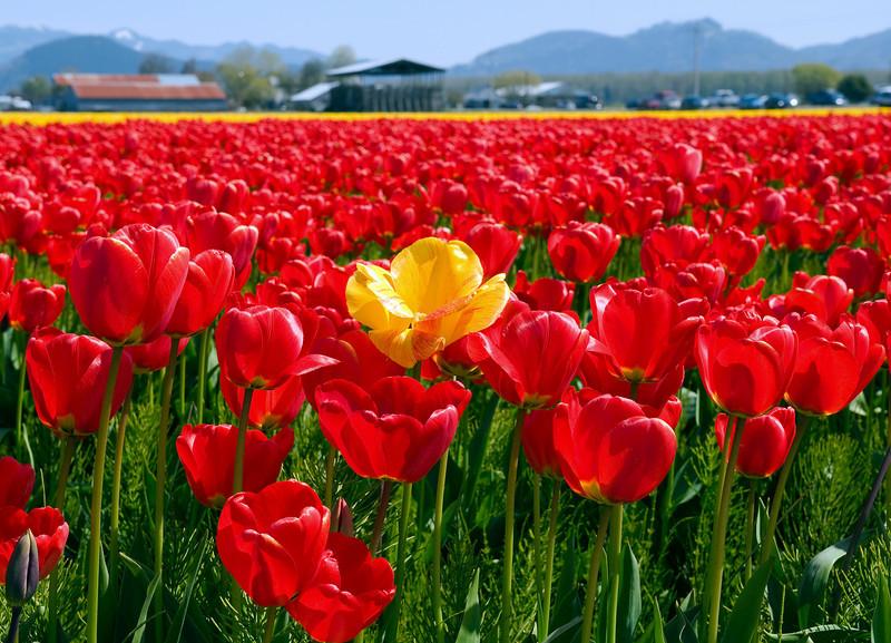 La Conner Tulip Festival
