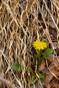 A dandelion is peeking through some dried grasses.