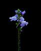 Apalachicola Toadflax (Nuttallanthus floridanus) with dew
