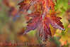 Signs of fall, a Sugar Maple leaf turned red at the Beaver Lake Nature Center near Baldwinsville, New York.