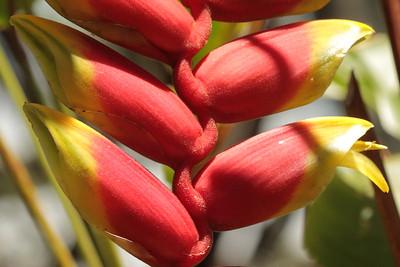 Lobster claw plant.  Big Island, Hawaii.
