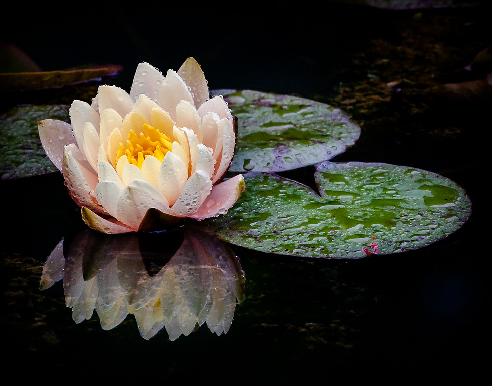 Early Season Water Lily