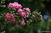 Day 168/365-this tree's blossoms are beautiful once they are in full bloom. #365Project 100.0mm 1/100s f/2.8 ISO: 100