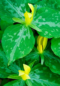 "These yellow trilliums were photographed along the trail located at the Townsend ""Y"" in the Great Smoky Mountains."