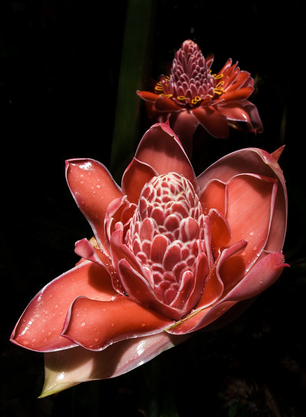 Torch Ginger Flower