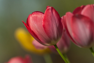 Close-up of red and yellow tulips in garden.