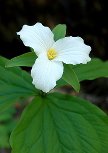 Large Flowered Trillium, Great Smoky Mountains National Park.