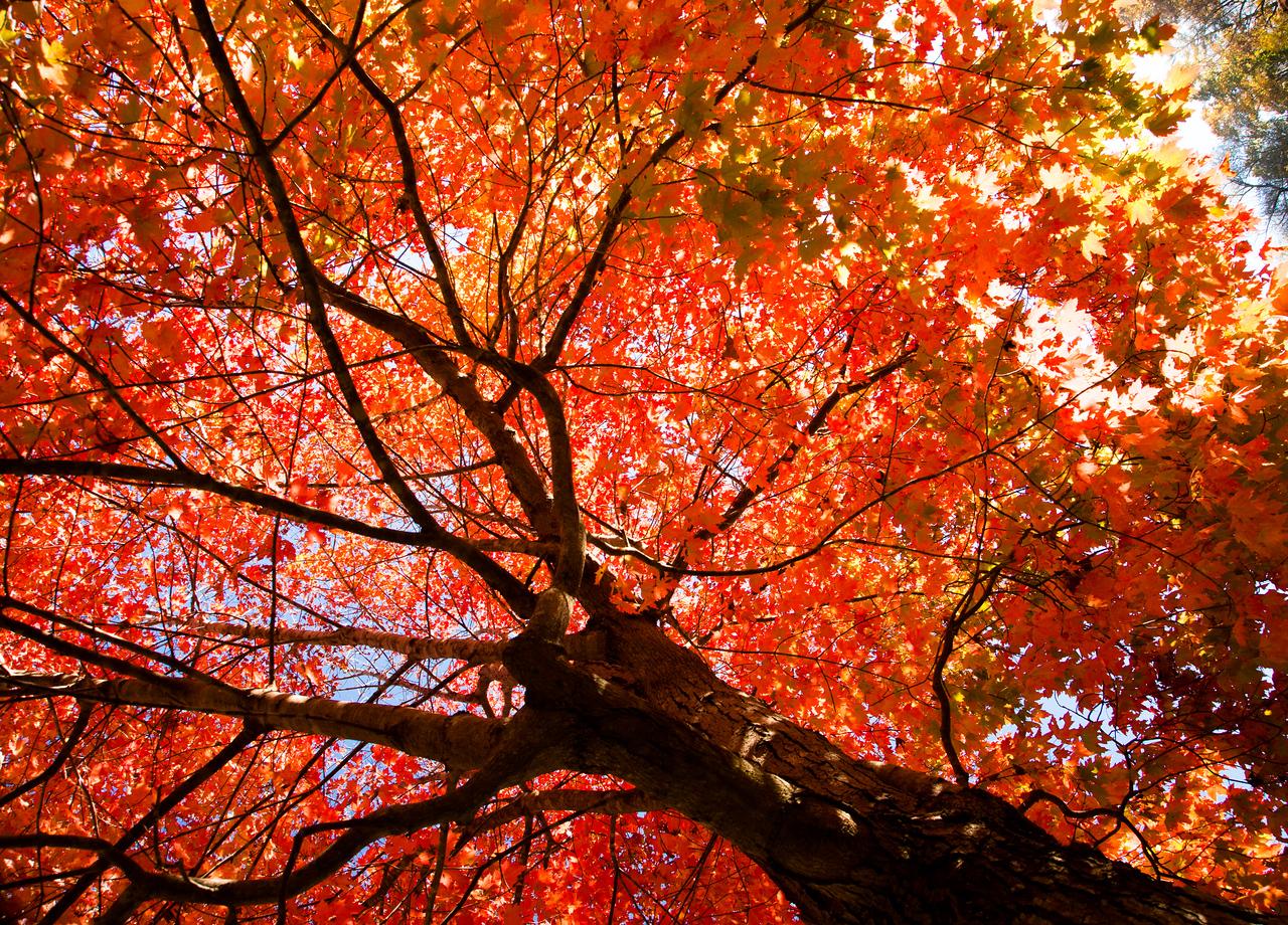 A Maple in Full