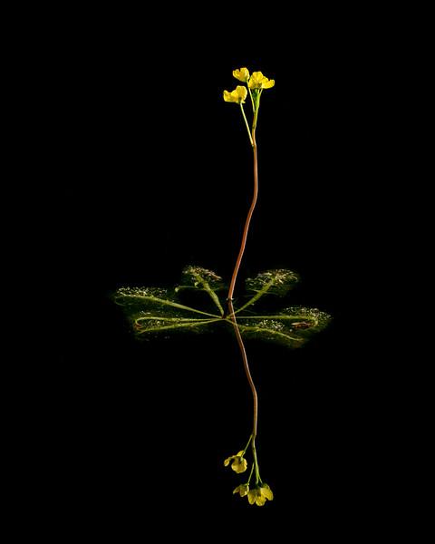 Floating Bladderwort (Utricularia inflata)