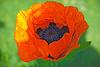 Close-up of a flowering orange poppy plant.
