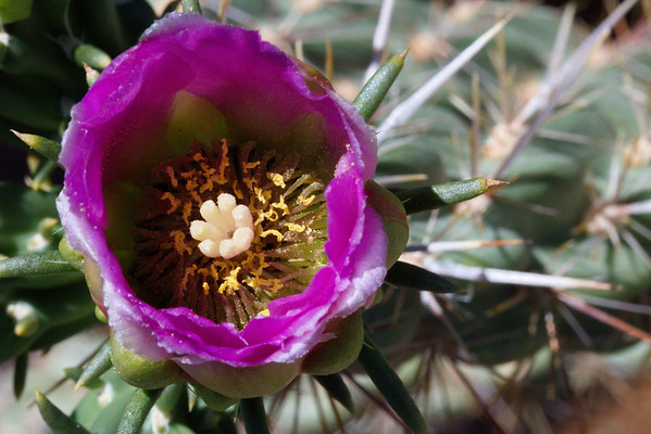 Cholla Flower; New Mexico