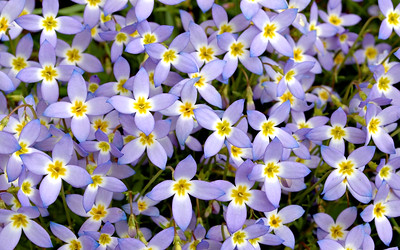 Delicate bluets bloom in the mountains and near rivers and streams.