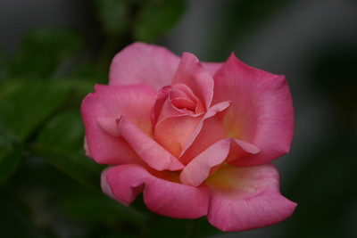 Chicago Peace rose.