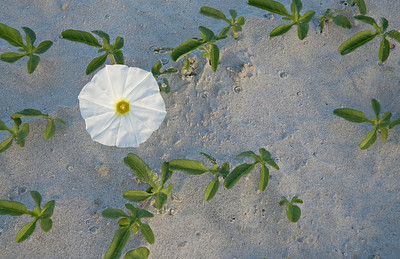 A Morning Glory is found blooming on the sands of Hilton Head Island, SC.