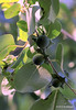 Day 183-The American Persimmon (Diospyros virginiana) #365Project (2010.07.02) Setting: 100.0mm 1/40s f/5.6 ISO: 100
