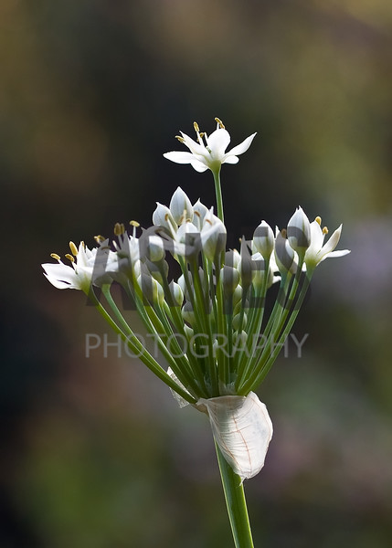 Garlic Chives (Allium tuberosum)