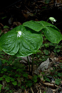 These huge white trilliums are about to bloom.  Photographed along the Baxter Creek Trail in the Great Smoky Mountains.
