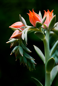 A succulent photographed at Stowe Botanical Gardens, Gastonia, NC.