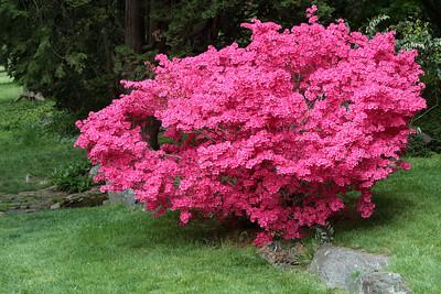 Azaleas at the Morris Arboretum.