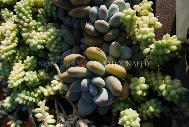 Succulents (The Canals- Fri 10 10 08)