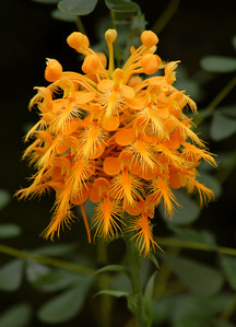 The yellow fringed orchid is one of several species of wild orchids that grow in western North Carolina.  All are very rare, and should be left to grow in the wild. This one was found near Cashiers, NC.
