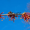 Witch-hazel (Hamamelis)