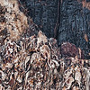 Burnt tree detail, Vista Encantada, North Rim, Grand Canyon National Park, Arizona