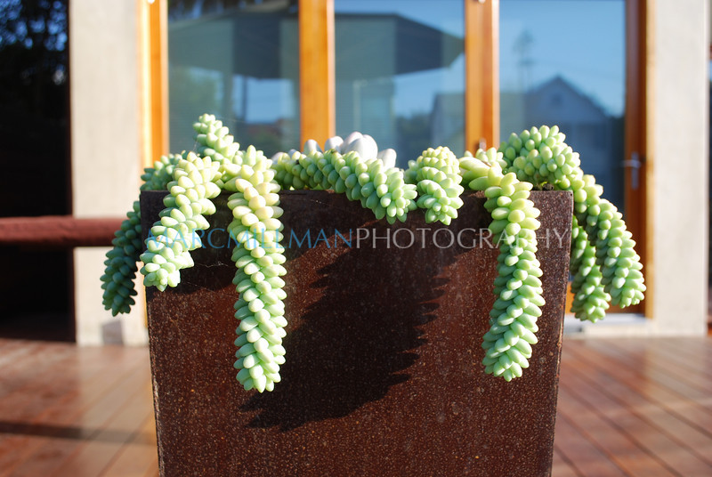 Drooping succulent (The Canals- Fri 10 10 08)