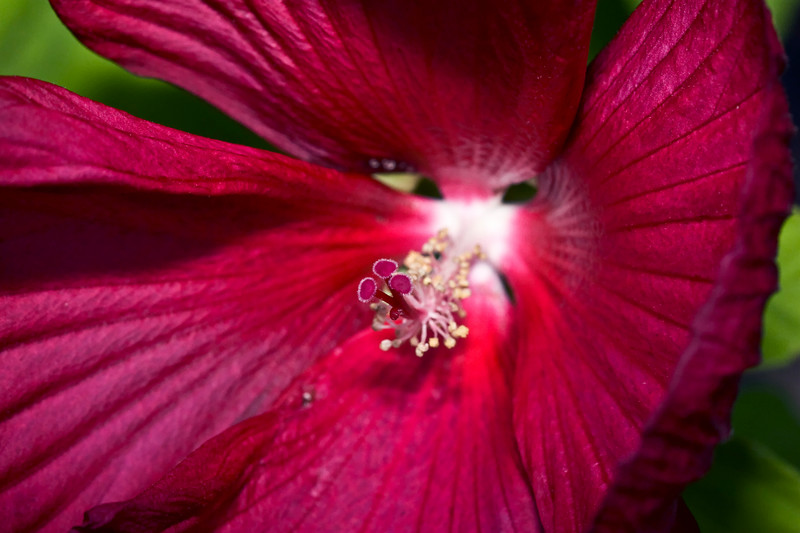 Hibiscus Flower <br /> this one\'s with flash