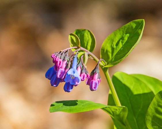 virginia bluebells 120A8407