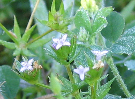 The tiniest of flowers, blue fieldmadder (Sherardia arvensis), still covered with heavy morning dew (192_9216)