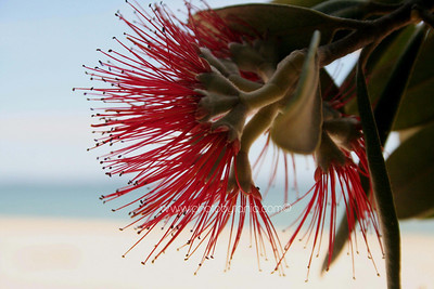 Pohutukawa Flower. Te Ananui, Coromandel, New Zealand.  See more photos in the archive