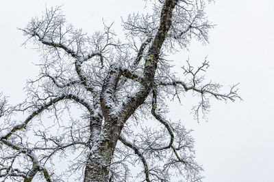 Acadia National Park, Maine, USA.  Single snow-covered tree against white sky.