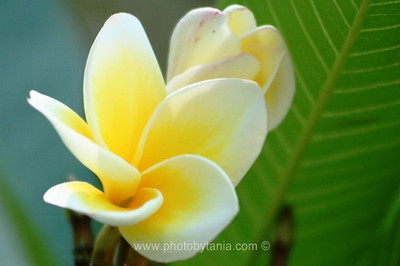 Frangipani. Hue, Vietnam  See more photos in the archive
