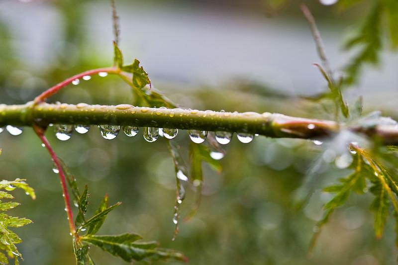 Japanese Maple in the Rain