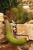 Lazy cacti  (Bermuda Botanical Gardens- Fri 10 9 09)