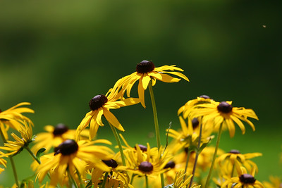 Rudbeckia fulgida, commonly known as Black-eyed Susan, Brilliant Coneflower, Eastern Coneflower, or Orange Coneflower.