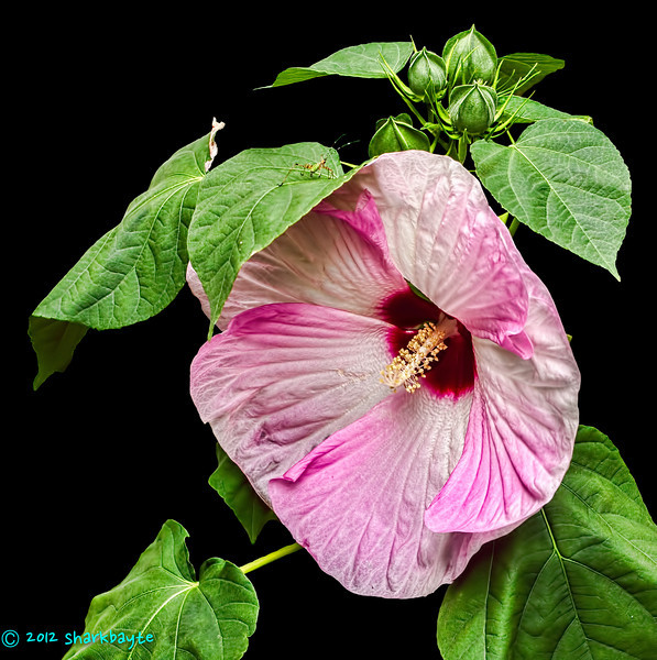 New flowers-Dinner Plate Hibiscus<br /> August 3, 2012-Found these new flowers in my neighbors yard. Dinner Plate Hibiscus - Hibiscus moscheutos