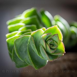 Succulent Still Life