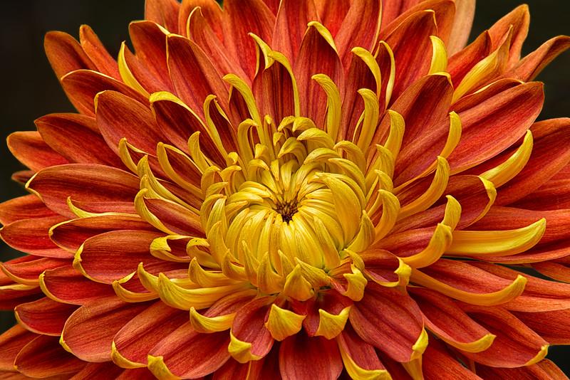 Close-up of a Japanese fall-flowering Kiku or chrysanthemum in orange and yellow.